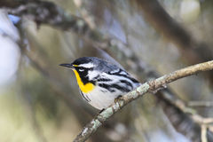 Yellow-throated Warbler (Setophaga dominica). The Yellow-throated Warbler (Setophaga dominica) is a small songbird found in the southeastern pine and swamp Royalty Free Stock Image