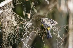 Yellow throated warbler royalty free stock photos