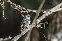 Yellow throated warbler stock photography