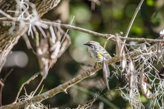 Yellow throated warbler stock image