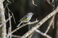 Yellow throated warbler royalty free stock images