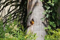 Yellow-throated woodpecker of the family Picidae, with its nest in the trunk of a coconut tree. Green leaves, beautiful yellow bird in the nature. Cute bird Royalty Free Stock Images
