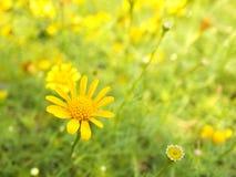 Yellow Tickseed Coreopsis Flowers Royalty Free Stock Photo