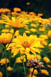 Yellow Tickseed Coreopsis Flowers Stock Photography
