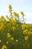 Yellow Tickseed wildflowers on Montezuma Swamp Preserve. Stock Photo