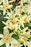 Yellow tiger lilies Stock Photos