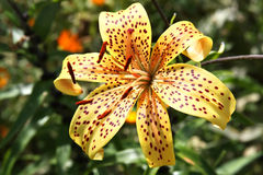 Yellow tiger lily Royalty Free Stock Photography