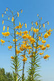 Yellow tiger lily flower. S against blue sky Royalty Free Stock Image