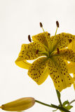 Yellow tiger lily Royalty Free Stock Photos