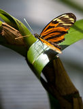 Yellow Tiger Longwing Butterfly Royalty Free Stock Photos