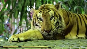 Yellow tiger stock video footage