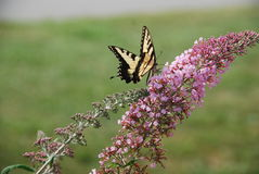 Yellow Tiger Swallowtail Butterfly on purple flower. Yellow Tiger Swallowtail Butterfly on purple multi budded flower Royalty Free Stock Photography