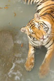 Yellow tiger in the swiming pool. Yellow big tiger in the swiming pool Stock Image