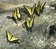 Yellow tigertail butterflies. Gathered on lichen-covered rock Stock Images