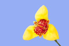 Yellow tigridia flower Stock Photo