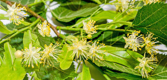 Yellow Tilia flowers, green leaves Stock Photo