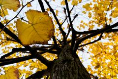 Yellow tilia lime trees leaves and trunk in an autumnal day. for fall and sesonal concept Stock Image