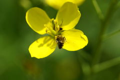 Yellow tiny flower with insect Royalty Free Stock Images