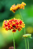 Yellow-tipped blooms. A closeup of firey red blossoms with yellow-tipped petals stock photography