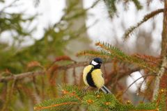 The yellow titmoustit is on the tree. Royalty Free Stock Image