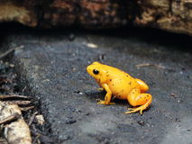 Yellow toad Royalty Free Stock Images