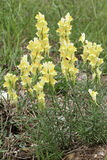 Yellow toadflax Stock Images