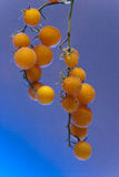 Yellow tomato branch with bubbles Stock Photo