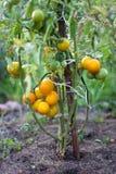 Yellow tomato bush Stock Photography