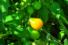 Yellow tomato Stock Image