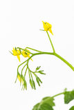 Yellow tomato flower cluster Stock Photos