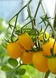 Yellow tomatoes. On the bush in the vegetable-garden Stock Photo