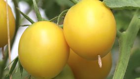 Yellow tomatoes on a branch. Ripe yellow tomatoes on a branch among the leaves, the first summer harvest stock footage