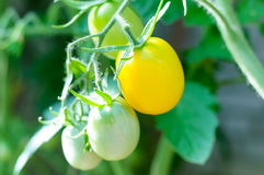 Yellow tomatoes on branch Stock Images