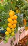 Yellow tomatoes Royalty Free Stock Image