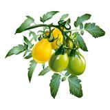 Yellow Tomatoes with green leaves on a white background royalty free illustration