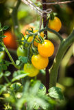 Yellow tomatoes growing on garden bed at sunny day Stock Photography