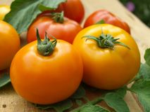 Yellow and red tomatoes stock photography