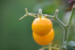 Yellow tomatoes on plant Royalty Free Stock Photography