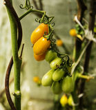 Yellow tomatoes ripening. On green bush Royalty Free Stock Images