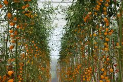 Yellow tomatos closup in the greenhouse farm ,ago business new modern. Growing vegetables Stock Images