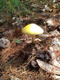 Yellow top mushroom Stock Images