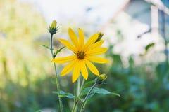 Yellow topinambur Stock Images