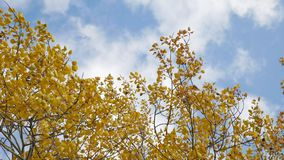 Yellow tops autumn trees against a blue sky. beautiful autumn forest nature landscape stock video footage