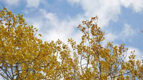 Yellow tops autumn trees against a blue sky. beautiful autumn forest nature landscape. Yellow tops autumn trees against blue sky. beautiful autumn forest nature Royalty Free Stock Photography