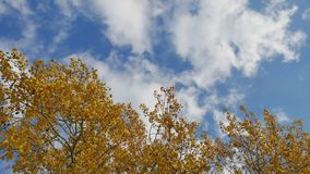 Yellow tops autumn trees against a blue sky. beautiful autumn forest landscape nature. Yellow tops autumn trees against blue sky. beautiful autumn forest stock video footage
