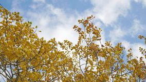 Yellow tops autumn trees against a blue sky. beautiful autumn forest nature landscape. Yellow tops autumn trees against blue sky. beautiful autumn forest nature Stock Photo