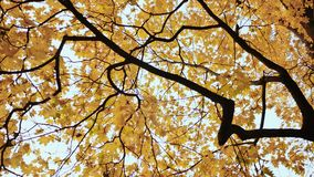 Yellow tops of maple trees in autumn. A park. Nature. Shooting in motion with electronic stabilization. Yellow tops of maple trees in autumn. A park. Nature stock footage