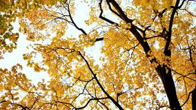 Yellow tops of maple trees in autumn. A park. Nature. Shooting in motion with electronic stabilization. Yellow tops of maple trees in autumn. A park. Nature Royalty Free Stock Photo