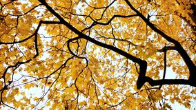 Yellow tops of maple trees in autumn. A park. Nature. Shooting in motion with electronic stabilization. Yellow tops of maple trees in autumn. A park. Nature Stock Image