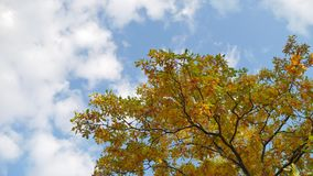Yellow tops oak autumn trees against a blue sky. beautiful autumn forest nature tree landscape. Yellow tops oak autumn trees against blue sky. beautiful autumn stock footage